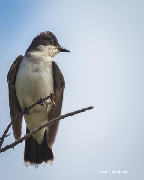 Eastern Kingbird, July 11 2013, Moira River, #3119,Canon T3i-1/500-f5.6-ISO 400,LR5