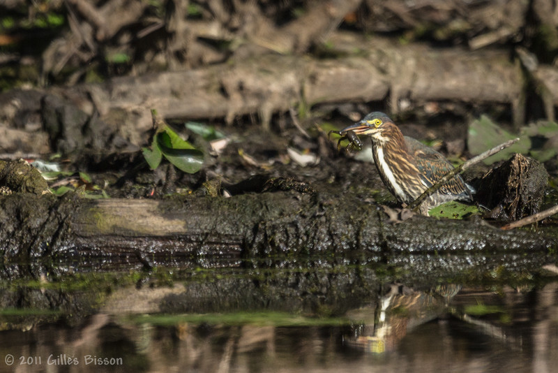 Green Heron with frog,Sept 09 2011, Moira River