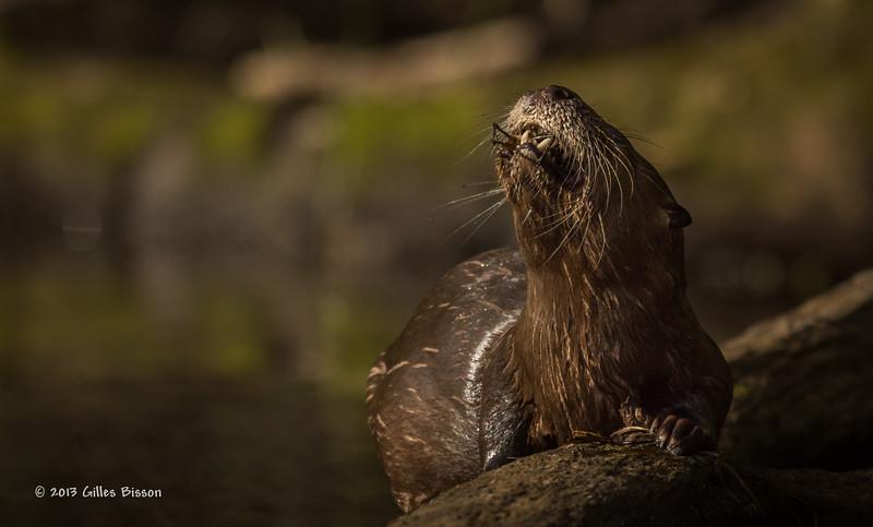 Otter eating crayfish, Moira river, Sept 9 2013, #6722,Canon T3i-100-400mm-1/1000-F7.1-ISO200-LR5