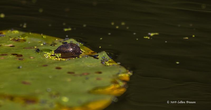 What is it ?? Looks like it has an eye, Moira River, Sept 11 2013, #6970