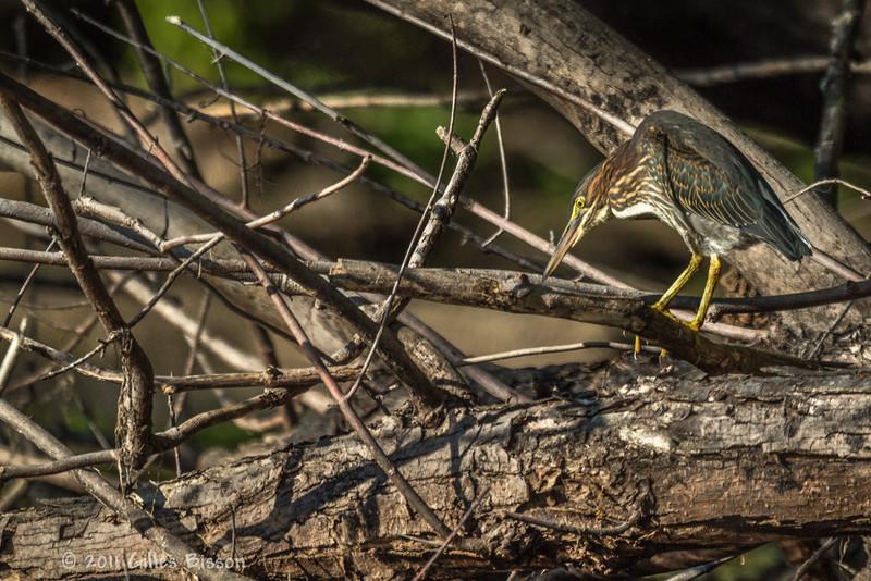 Green Heron ,Sept 09 2011, Moira River