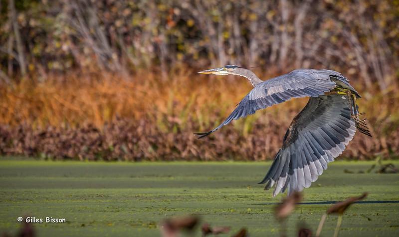 Blue Heron, Oct 14 2014, Moira river, Canon 6D, 1/1250,F7.1,ISO250