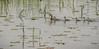 Pied-billed Grebe, June 10 2014, Presqu'ile Provoncial Park, Canon T3i, 100-400mm, 1/1000, F5.6, ISO200