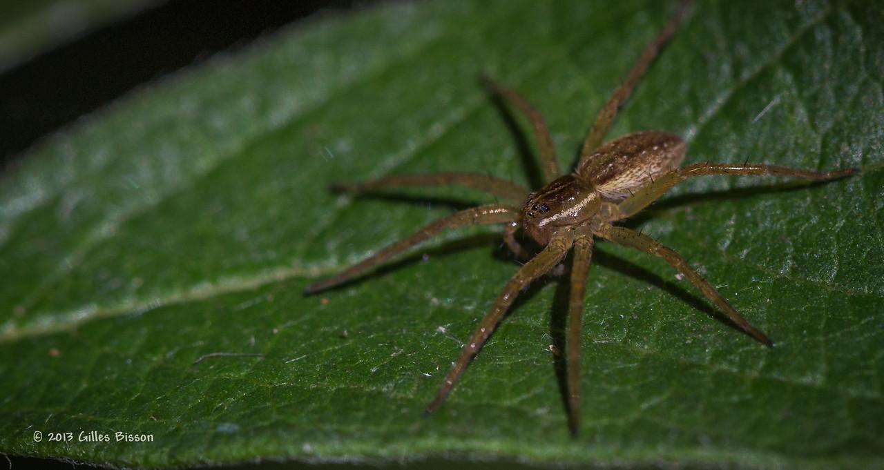 Tiny Spider, Presqu'ile Provincial Park, aug 23 2013, #5521, Canon 6D-100mm Macro-1/1000-F5.6-ISO400-LR5