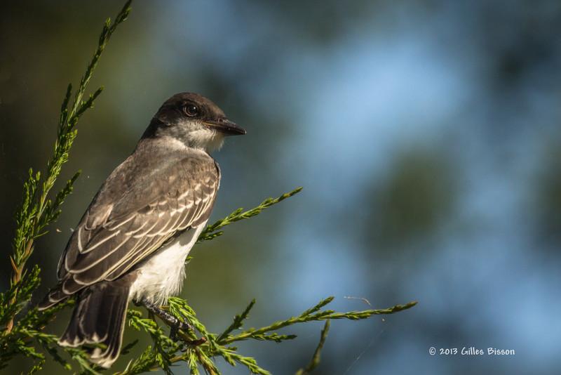 Eastern Kingbird, Presqu'ile Provincial Park, August 04 2013, #4709, Canon T3i--100-400mm-1/1000-F8.0-ISO100-LR5