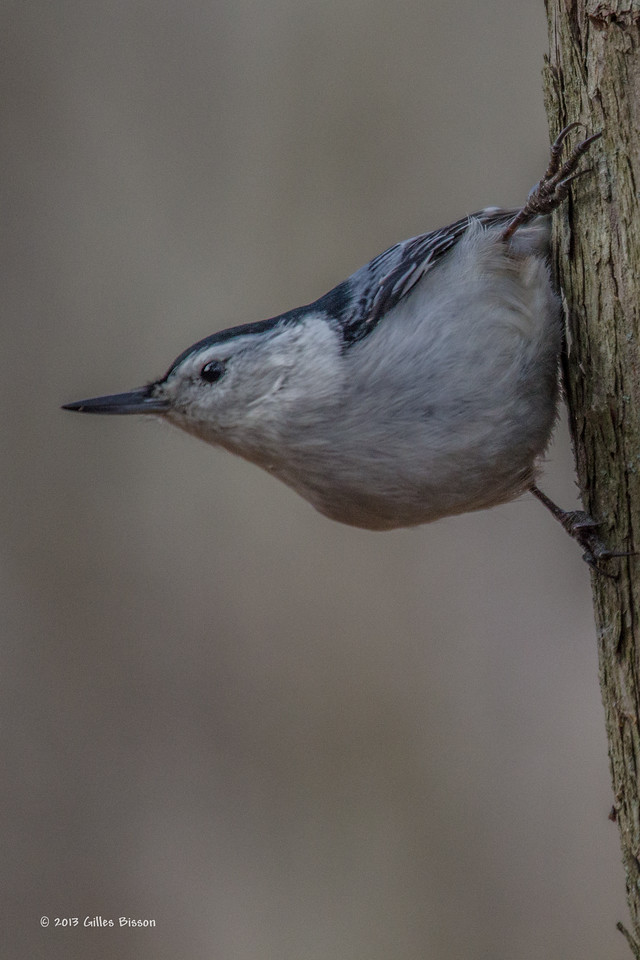 White-breasted Nuthatch, January 19 2013, Presqu'ile Provincial Park, # 4813, Canon T3i-1/1000-F5.6-ISO800