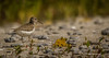 Spotted Sandpiper, Owens Point, Presqu'ile Provincial Park, July 22 2013, #4197, Canon T3i-100-400mm-1/1600-F5.6-ISO 100-LR5