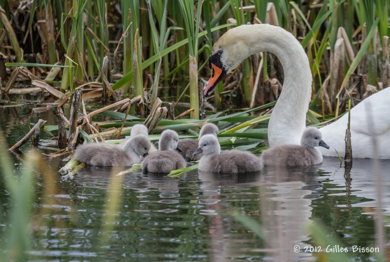 Swan family, Brighton constructed Wetland, May 10 2012, #3894, Canon T3i-1/640-F5.6-ISO100