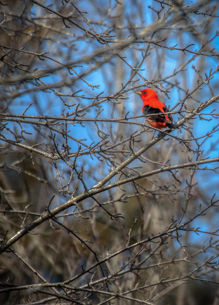Scarlet Tanager. May 12, 2018, Presqu'ile Provincial Park, Canon 7D Mark II, 100-400mm, 1/1250, F7.1, ISO 200