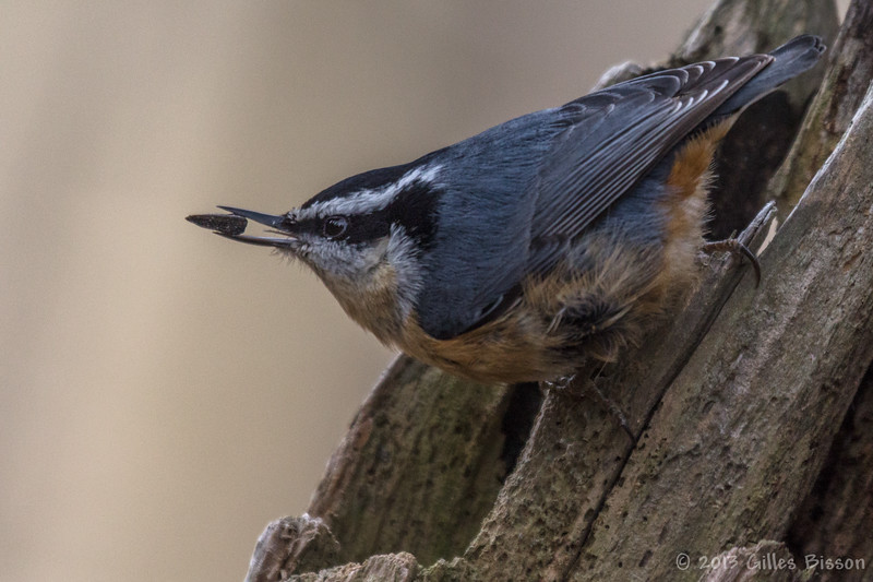 Red-breasted Nuthatch, January 19 2013, Presqu'ile Provincial Park