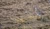 Semipalmated Sandpiper,Presqui'le Provincial Park, Sept 10 2014, Canon 6D, 100-400mm,1/1000,F7.1,ISO320