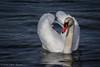 Swan, Dec 06 2012, Presqu'ile Provincial Park