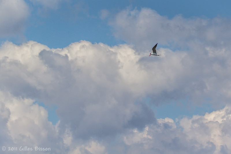 Caspian Tern, May 06 2011, Presqu'iles Provincial Park