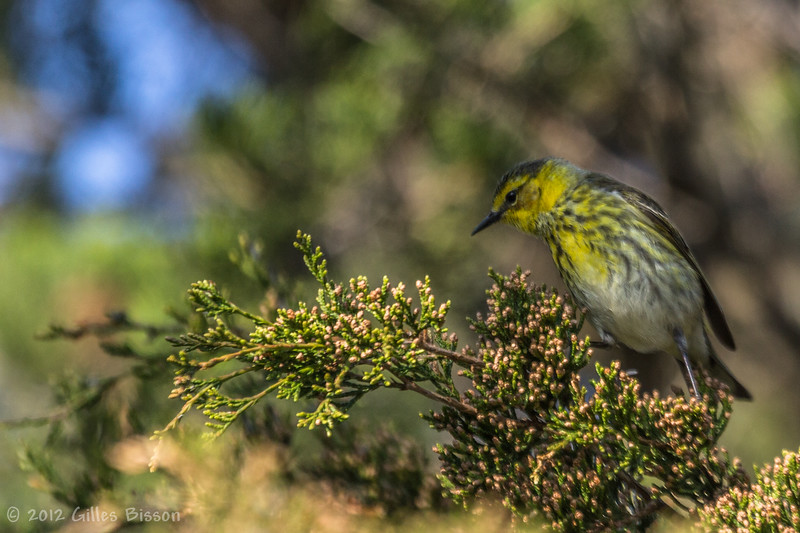 ? Warbler, May 18 012, Presqu'ile Provincial Park