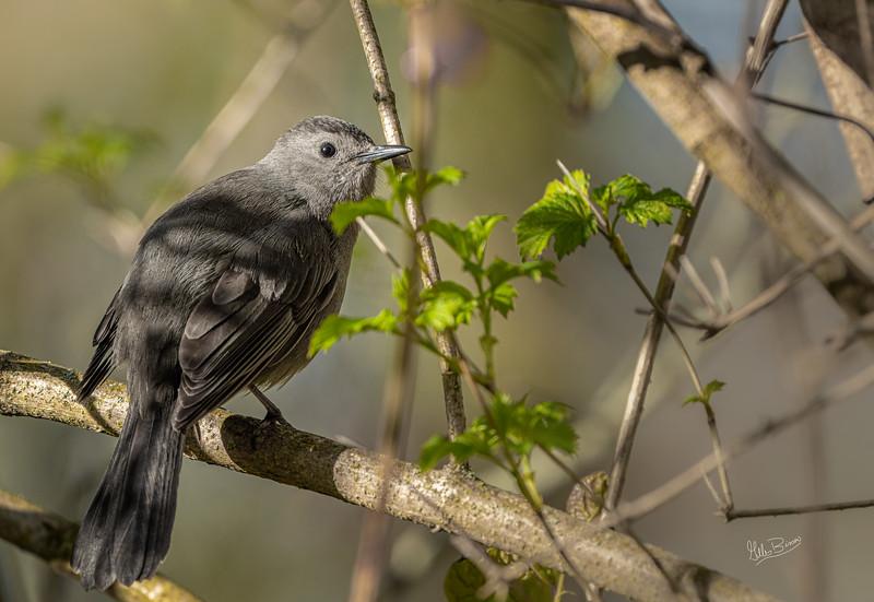 Gray Catbird, Presqu'ile Provincial Park, May 19, 2020, Sony 7RIV, 200-600mm, 1/640, F7.1, ISO 400