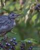 Young Gray Catbird, August 30 2012, Presqu'ile Provincial Park