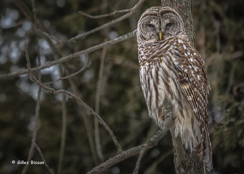 Barred Owl, March 3 2015, Presqu'ile Provincial Park, Canon 7D Mark II,1/1000,F7.1,ISO640