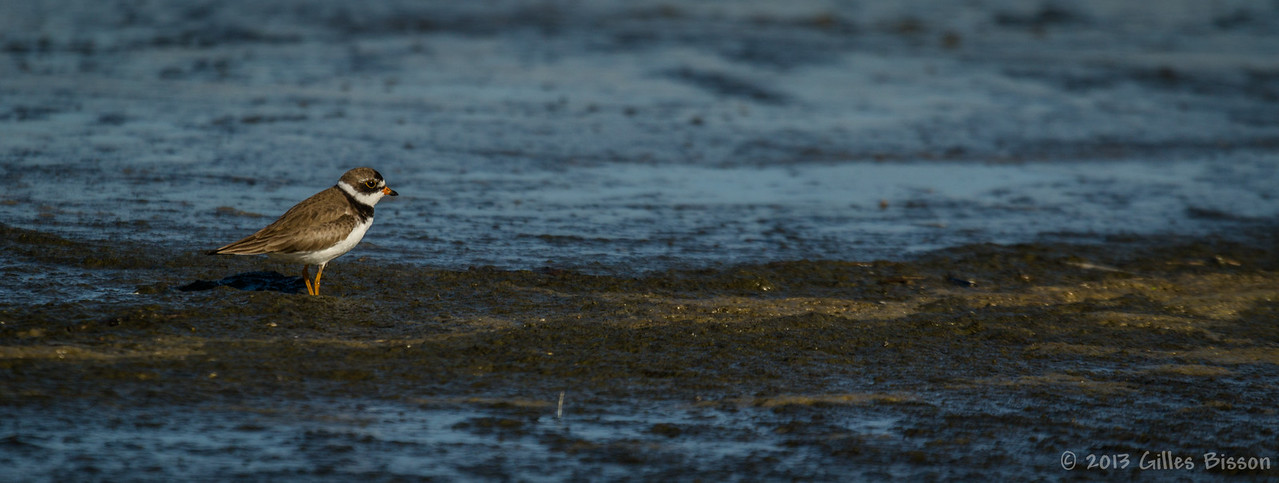 Semipalmated Plover,Presqu'ile Provincial Park, Aug 4 2013, #4541, canon t3i-100-400mm-1/1250-F5.6-ISO100-LR5