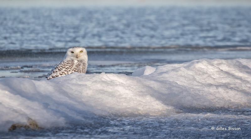 Snowy Owl, Calf Pasture, Presqu'ile Provincial Park, Dec 07 2014, Canon 6D, 100-400mm,1/1250,F7.1,ISO400