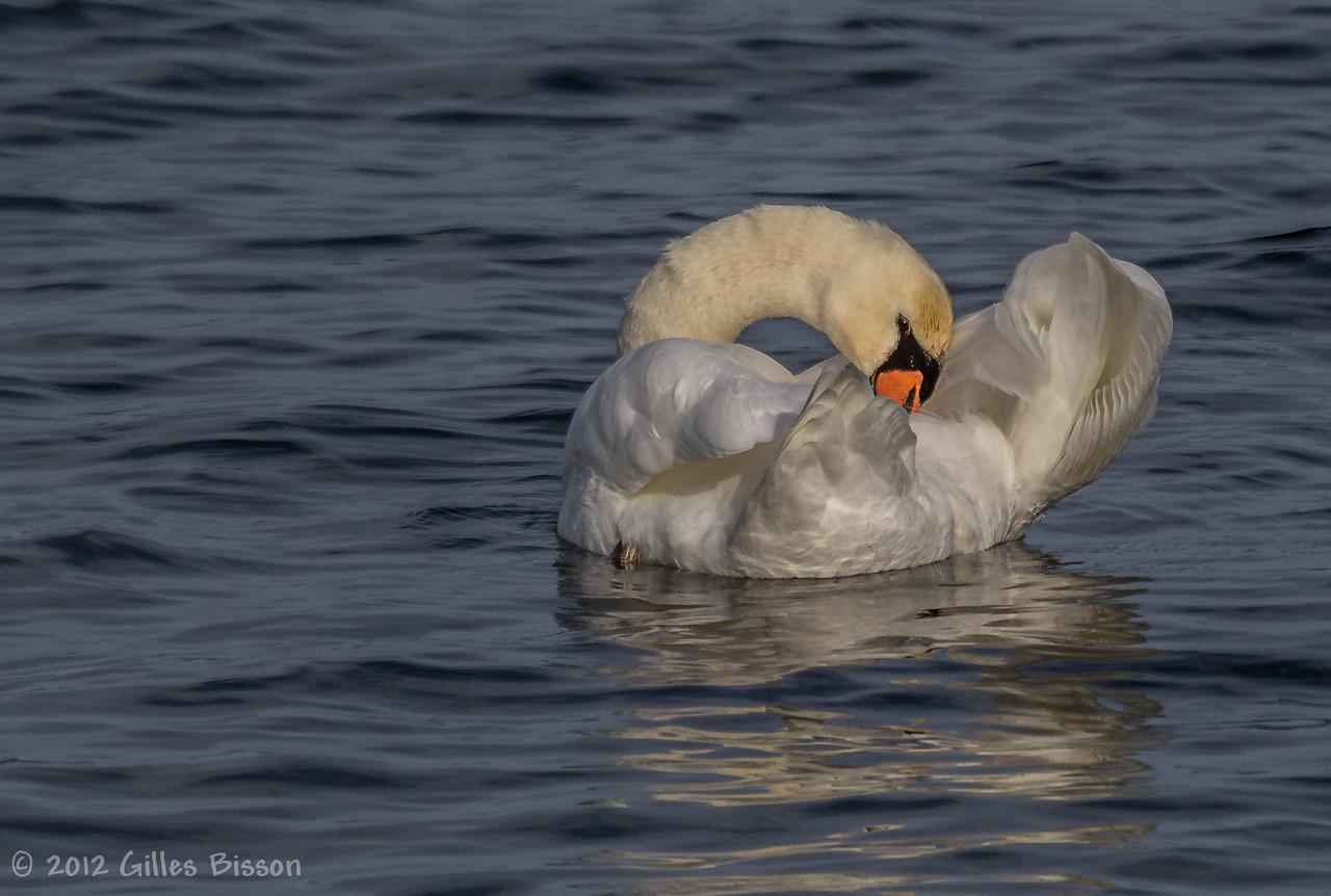 Grooming Swan, December 06 2012, Presqu'ile Provincial Park