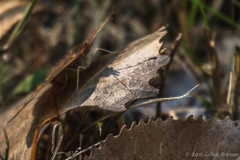 Common Buckeye Butterfly, August 30 2012, Presqu'ile Provincial Park