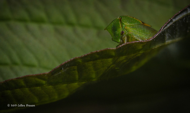 Tiny Leaf bug, Aug 23 2013, #5556-Canon 6D-100 mm Macro-1/640-F11-ISO500-LR5