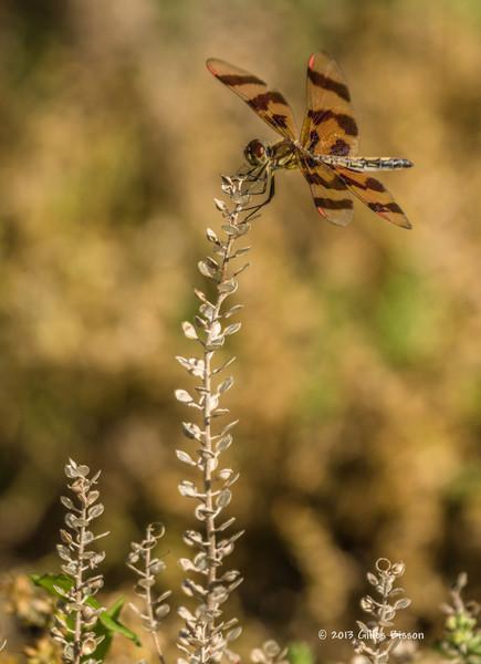 Dragon fly, Presqu'ile Provincial Park, Aug 04 2013, #4638, Canon T3i-100-400mm-1/640-F7.1-ISO100-LR5