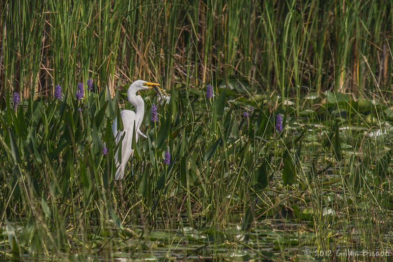 Great Egret, August 4 2012, Presqu'ile Provincial Park