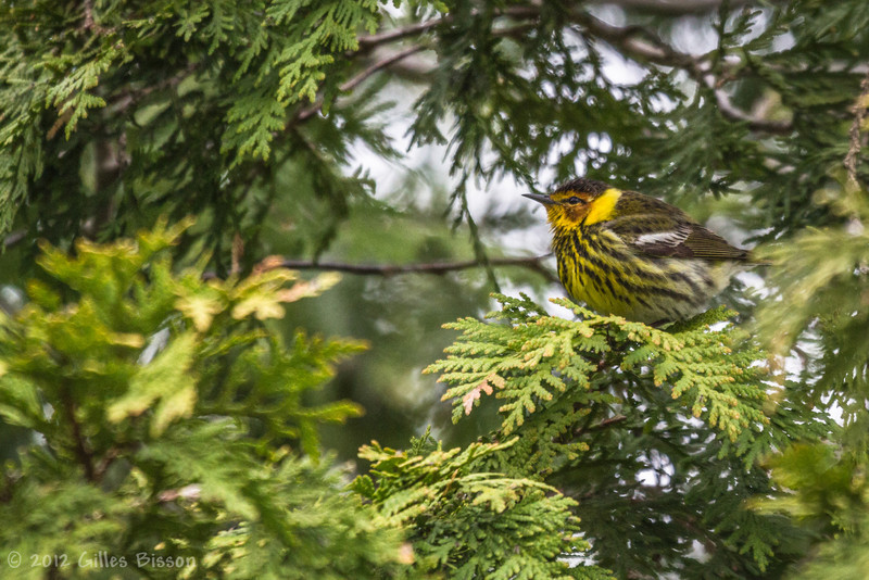 Cape May Warbler, May 10 2012, Presqui'ile Provincial Park
