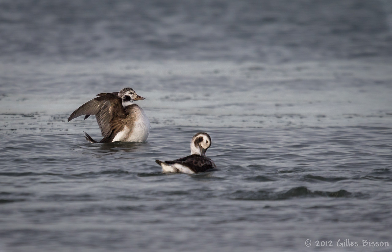 Long-tailed duck, December 06 2012, Presqu'ile Provincial Park