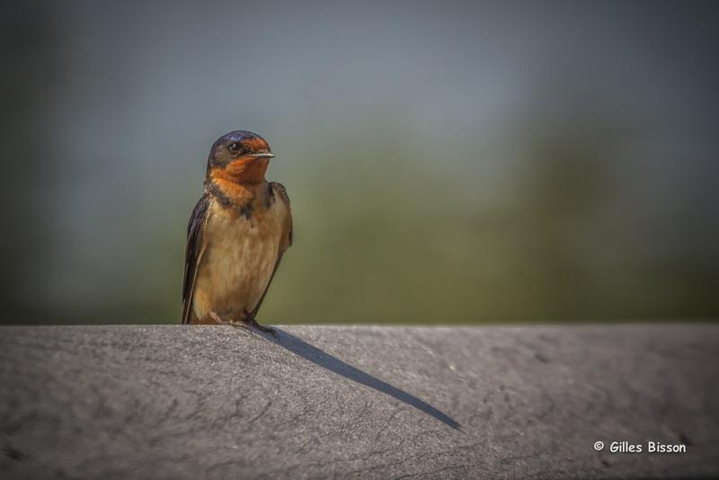 Barn Swallow, June 03 2014, Presqu'ile Provincial Park, Canon T3i,100-400mm,1/1250,F7.1,ISO200