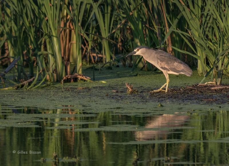Black-crowned Night-Heron, July 15 2015, Brighton Wetland, Canon 7D Mark II, 100-400mm, 1/1250,F7.1, ISO 400