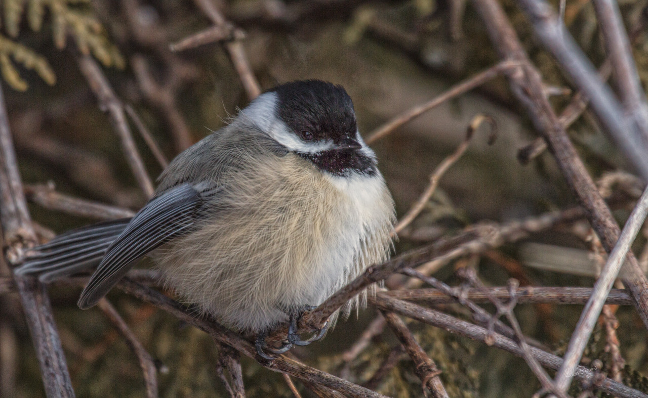 Chickadee, Presquile Provincial Park, January 16 2012, Canon T3i-1/800-F7.1-ISO200
