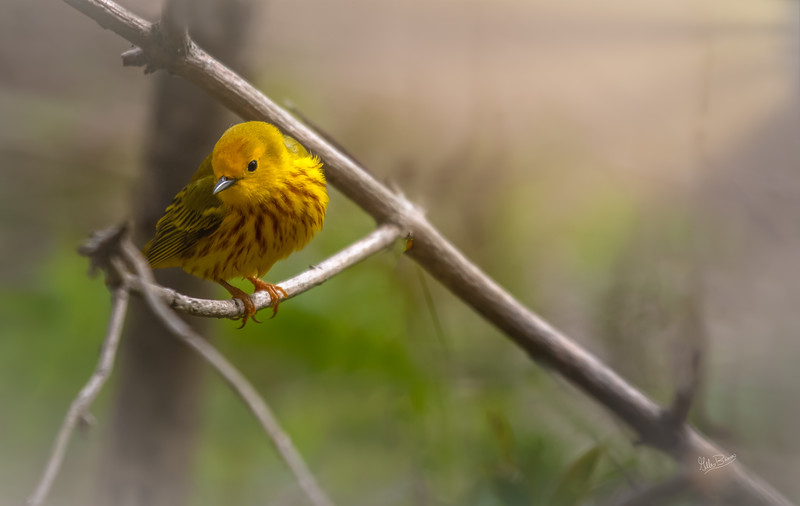 Yellow Warbler, May 11, 2018, Presqu'ile Provincial Park, Canon 7d MarkII, 400mm,1/1250, f6.3, ISO 400