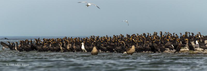 Double Crested Cormorants, July 22 2013, Hig Bluff Island, Presqu'ile Provincial Park, #3807, Canon T3i-100-400mm-1/1600-F7.1-ISO 200-LR5