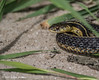 Garter snake,June 05 2012, Presqu'ile Provincial Park