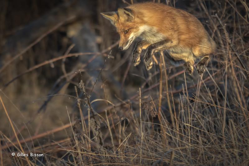 Red Fox,Presqu'ile Provincial Park, April 19,2015, Canon 7D Mark II, 100-400mm, 1/500,F7.1,ISO500