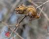 Chipmunk, May 1, 2018, Presqu'ile Provincial Park, Canon 7d MarkII, 400mm, 1/1000, F 9.0, ISO 320