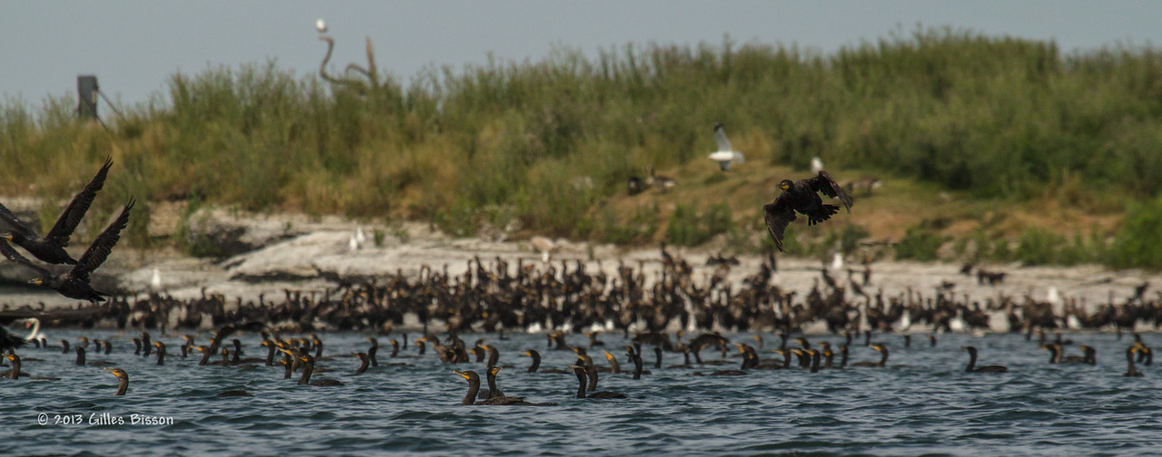 Double Crested Cormorants, July 22 2013, Hig Bluff Island, Presqu'ile Provincial Park, #3913, Canon T3i-100-400mm-1/1600-F9.0-ISO 200-LR5