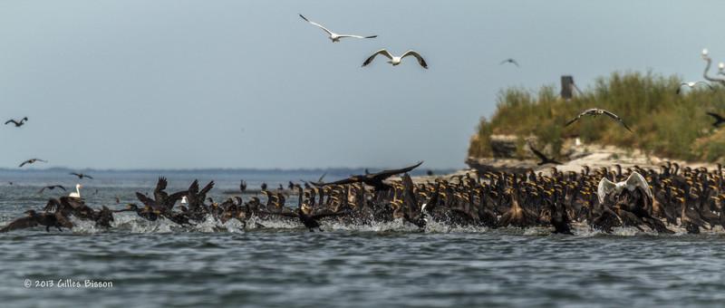 Double Crested Cormorants, July 22 2013, Hig Bluff Island, Presqu'ile Provincial Park, #3816, Canon T3i-100-400mm-1/1600-F7.1-ISO 200-LR5