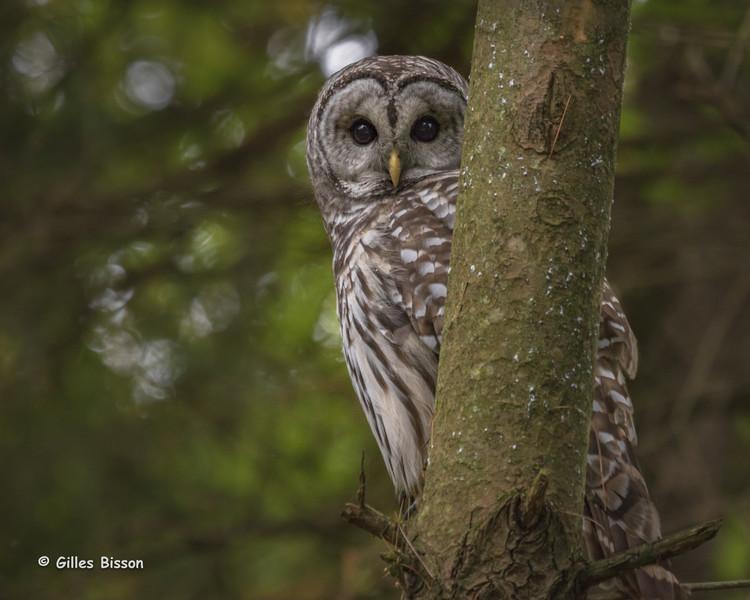 Barred Owl, Presqu'ile Provincial Park, October 06, 2015, Canon 7D Mark II, 1/80, F7.1, ISO 800