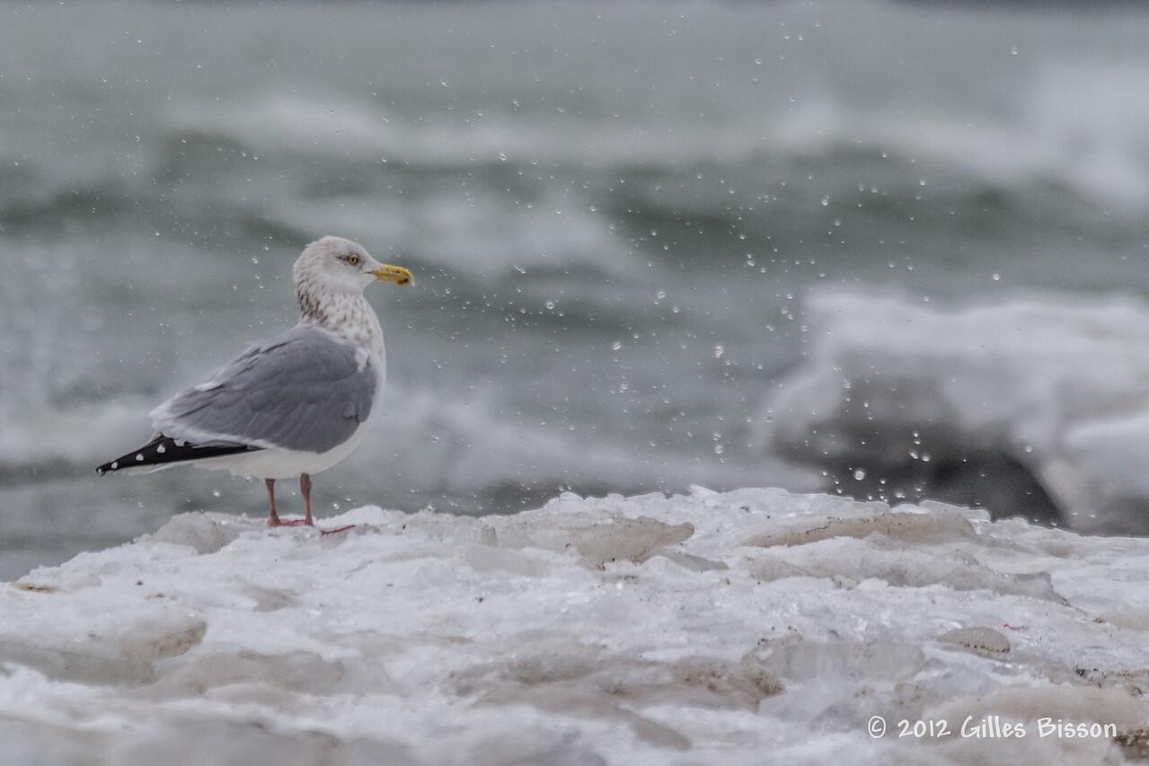 Herring Gull, Feb 01 2012, Presqu'ile Provincial Park