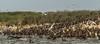 Double Crested Cormorants, July 22 2013, Hig Bluff Island, Presqu'ile Provincial Park, #3861, Canon T3i-100-400mm-1/2000-F9.0-ISO 400-LR5