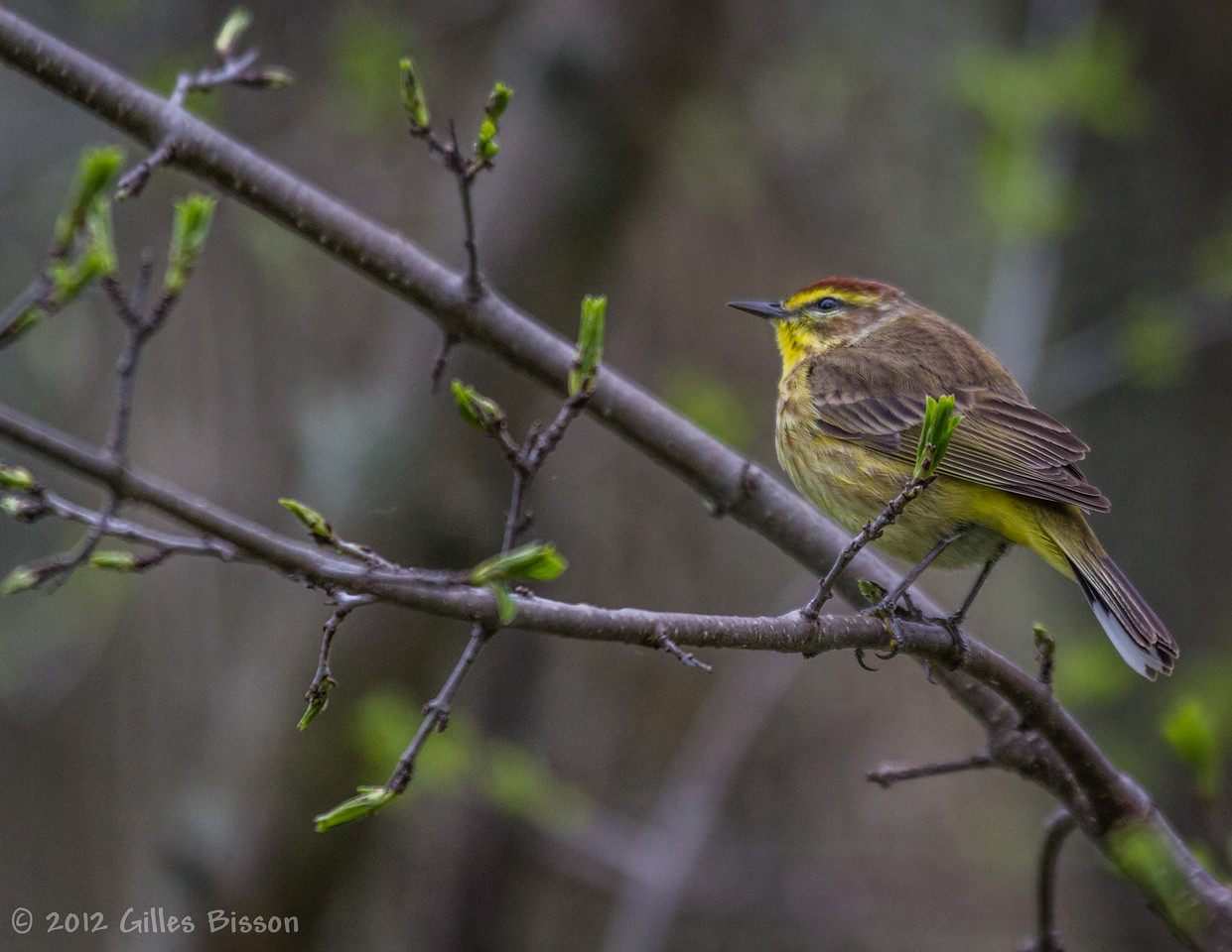 Yellow Palm Warbler, May 10 2012, Presqu'ile Provincial Park