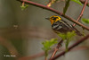 Blackburnian Warbler, May 22 2014, Presqu'ile Provincial Park, Canon T3i,100-400mm,1/1250,F5.6,ISO200
