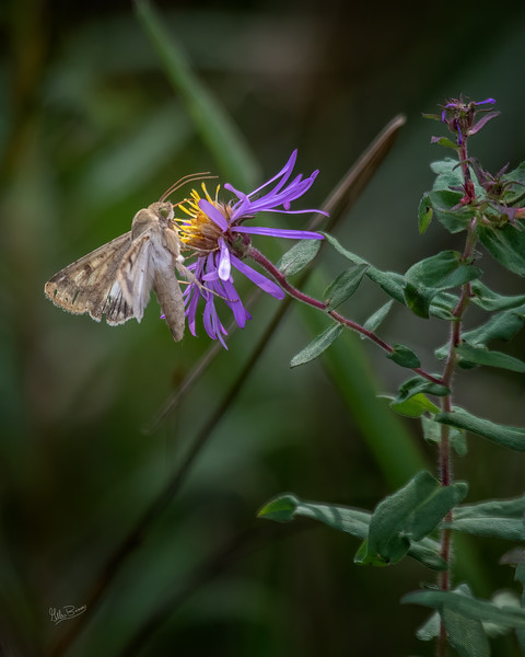 Moth ? , Presquile Provincial Park, October 1, 2019, Canon 7D Mark II, 100-400mm, 1/1250 F5.6, ISO 640