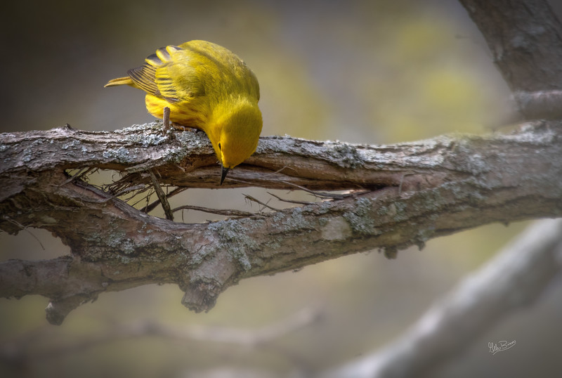 Yellow Warbler, May 12, 2018, Presqu'ile Provincial Park, Canon 7d MarkII, 400mm,1/1250, F6.3, ISO 400