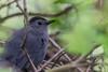 Gray Catbird, May 10 2012, Presqu'ile Provincial Park