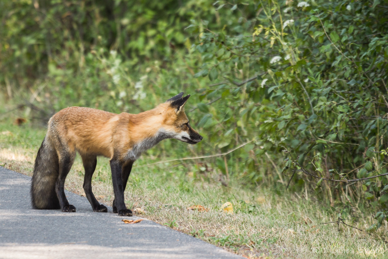 Red Fox, August 30 2012, Presqu'ile Provincial Park