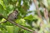 Song Sparrow, June 05 2012, Presqu'ile Provincial Park